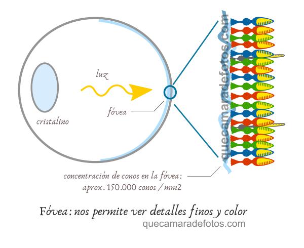 Fóvea y distribución de conos en el ojo